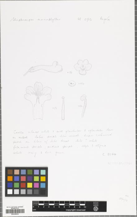 Streptocarpus monophyllus image