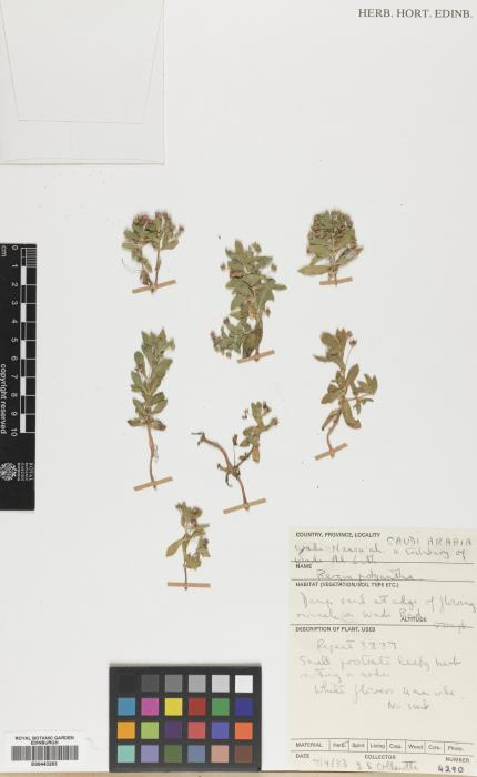 Bergia polyantha image