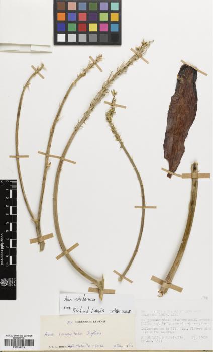Aloe molederana image