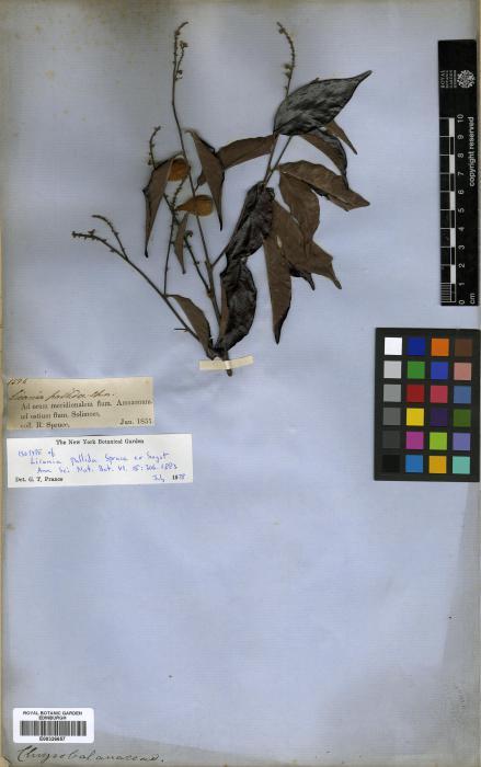Chrysobalanaceae image