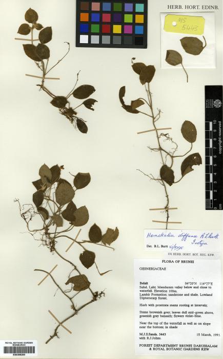 Henckelia diffusa image