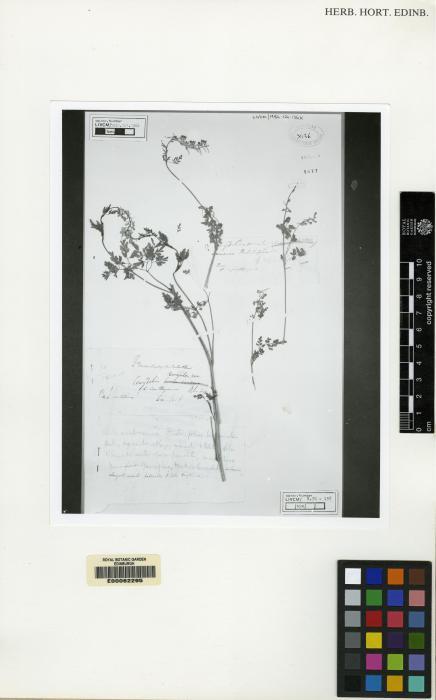 Corydalis longipes image