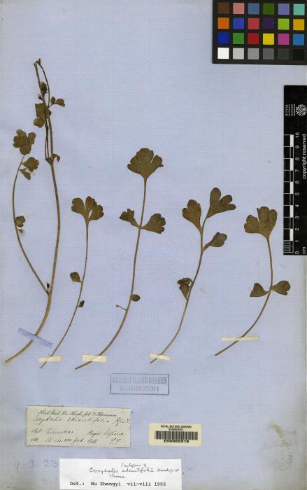 Corydalis adiantifolia image