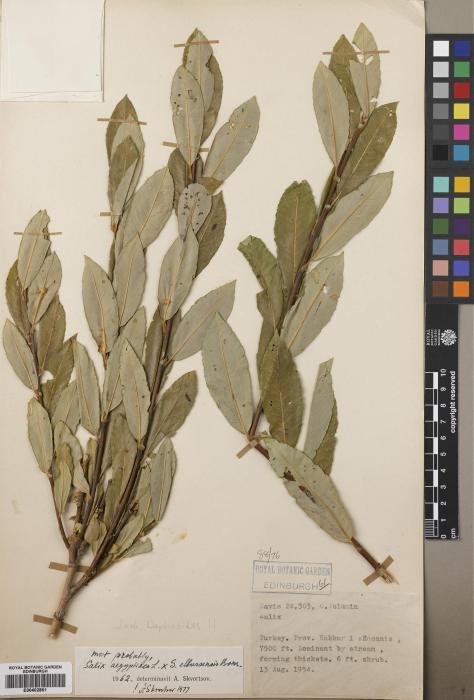 Salix aegyptiaca image