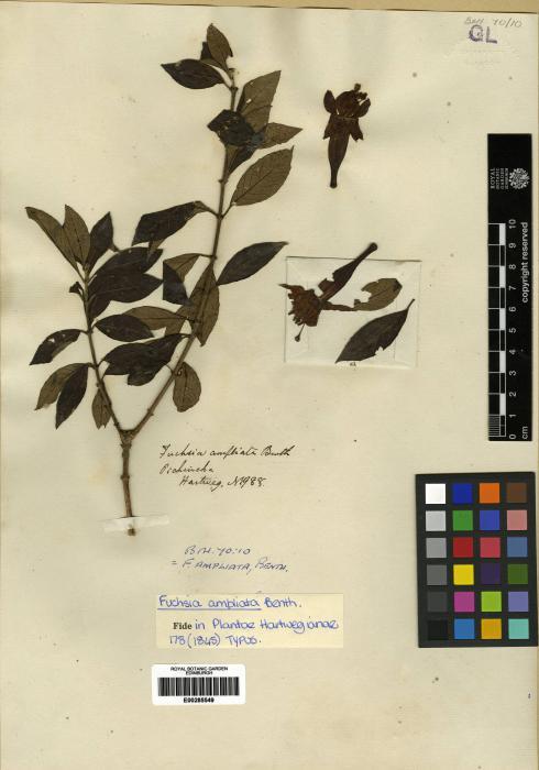 Fuchsia ayavacensis image