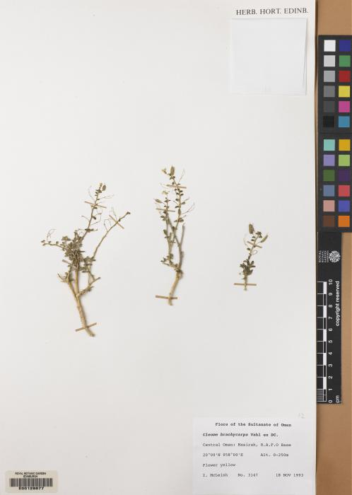 Cleomaceae image