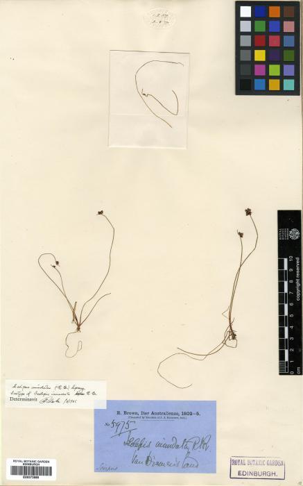 Cyperaceae image