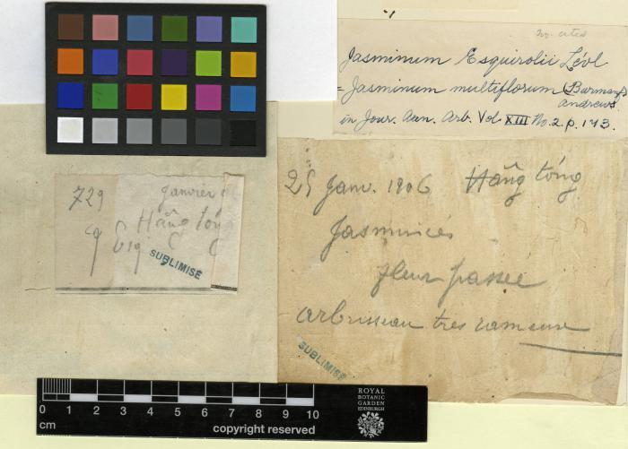 Jasminum elongatum image