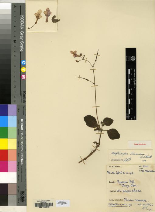 Streptocarpus stomandrus image