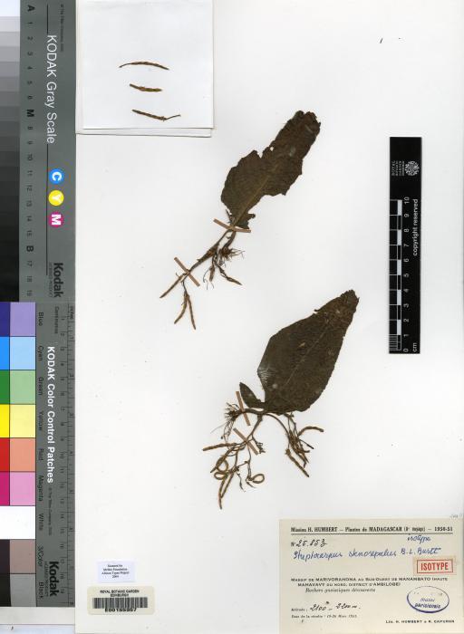 Streptocarpus stenosepalus image