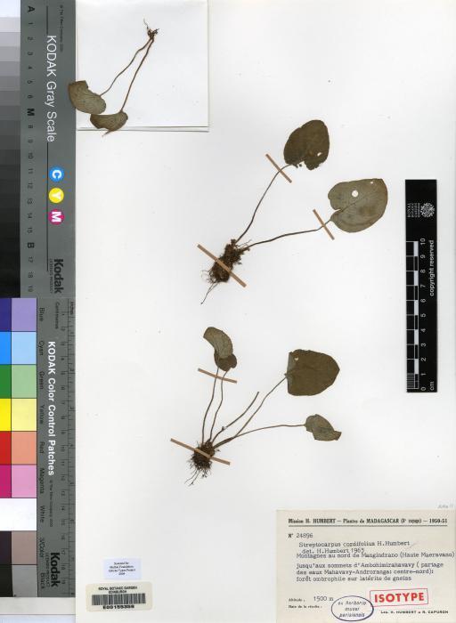 Streptocarpus cordifolius image