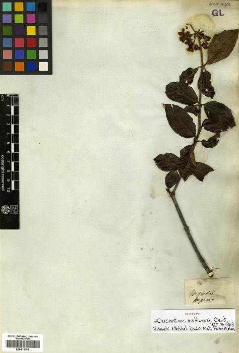 Adoxaceae image