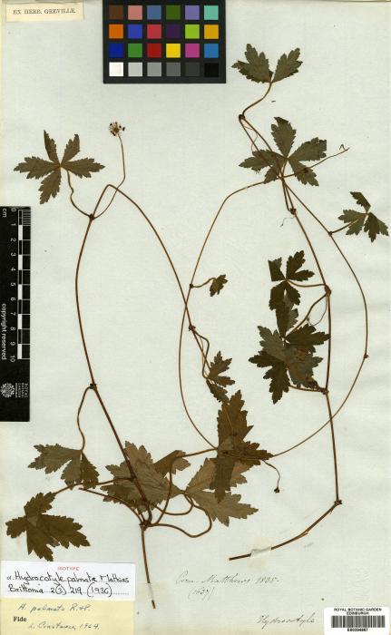 Hydrocotyle image