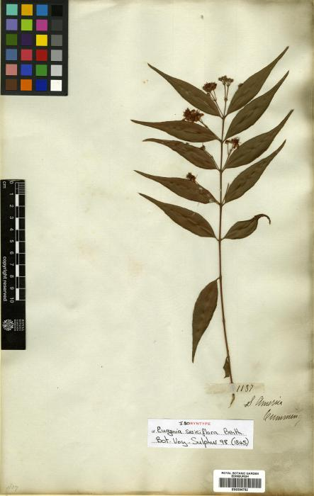 Eugenia albida image
