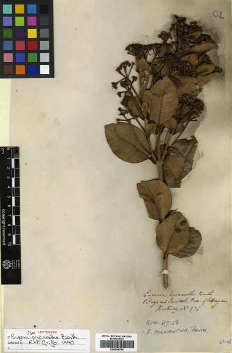 Eugenia alaternifolia image