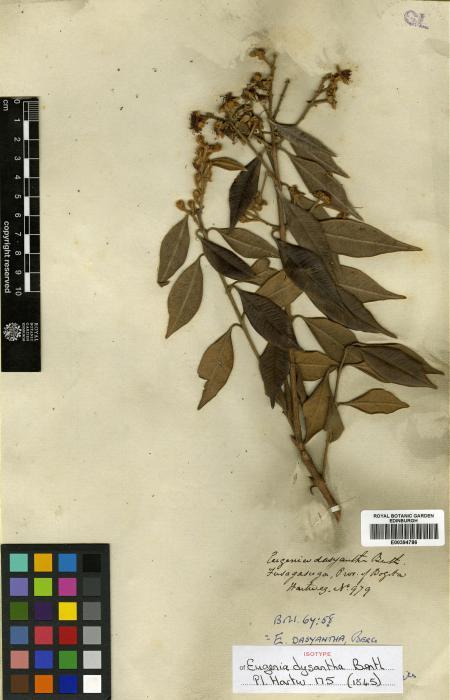 Eugenia biflora image