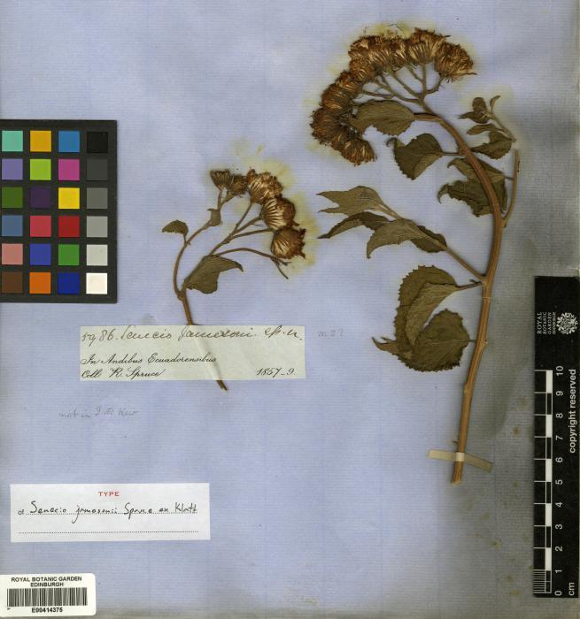 Pseudogynoxys sonchoides image