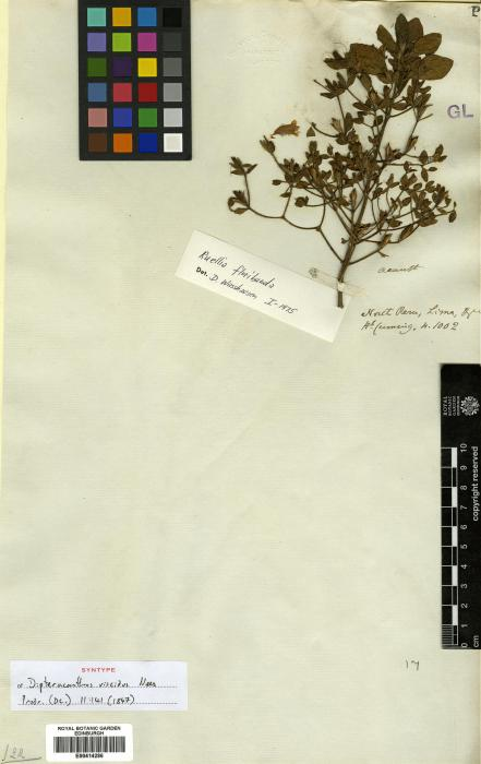 Ruellia floribunda image