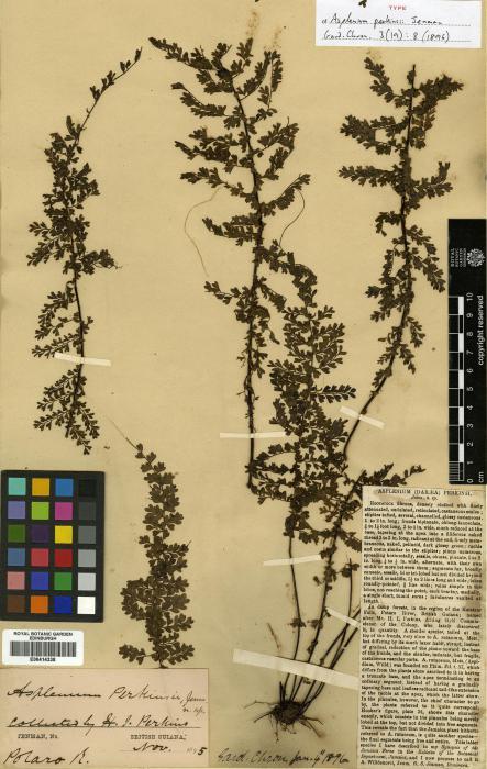 Aspleniaceae image