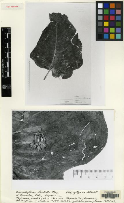 Monophyllaea hirtella image
