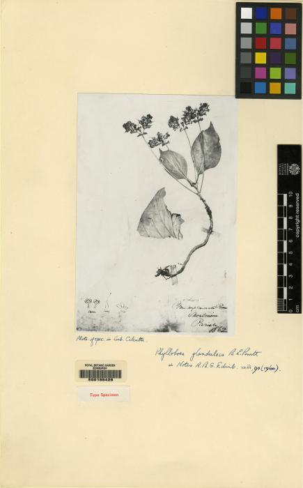 Phylloboea glandulosa image