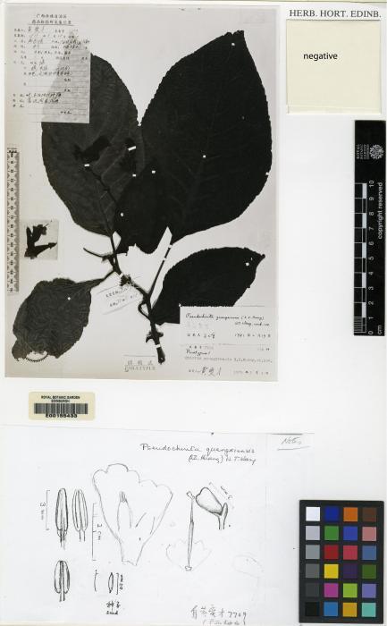 Pseudochirita guangxiensis image