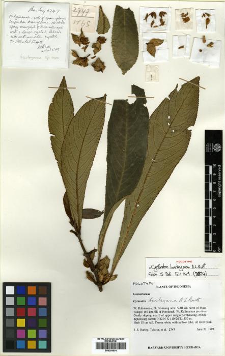 Cyrtandra burleyana image