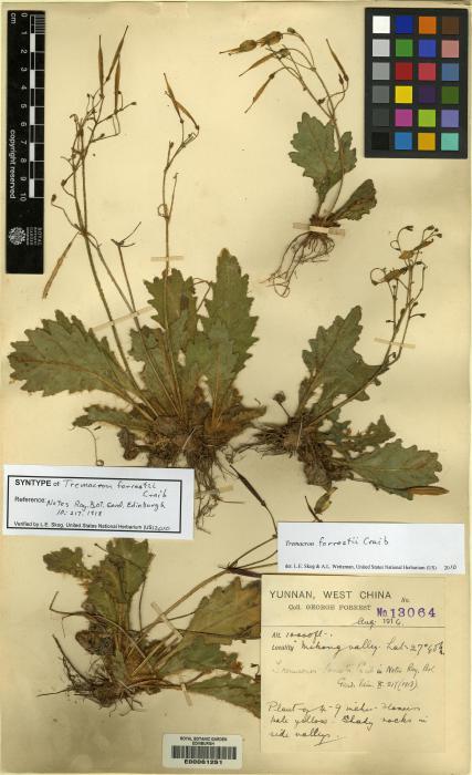 Oreocharis craibii image