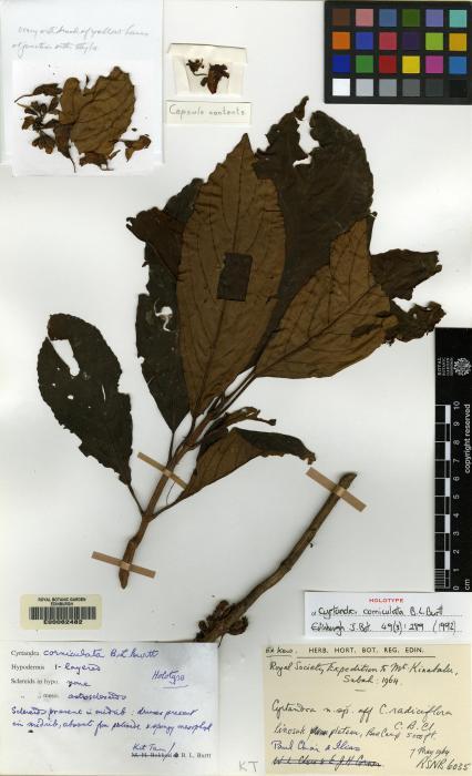 Cyrtandra corniculata image