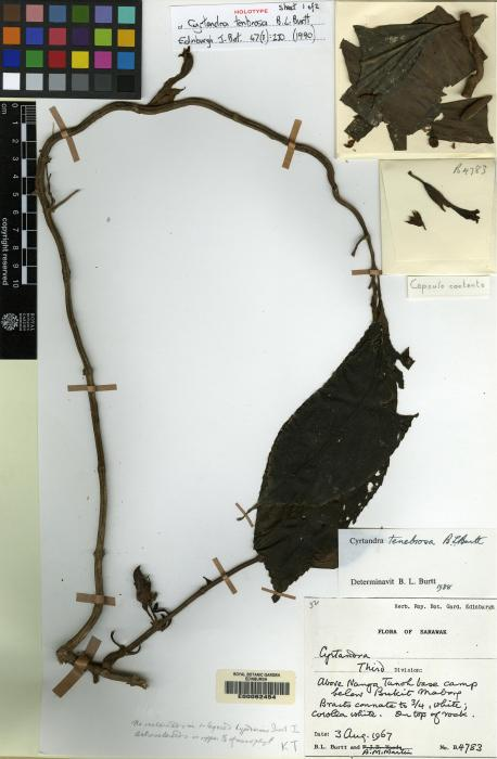 Cyrtandra tenebrosa image