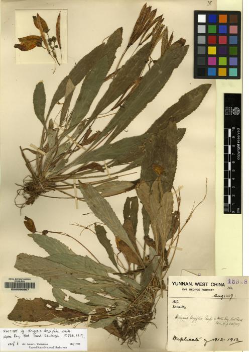 Oreocharis longifolia image