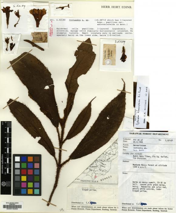 Cyrtandra tibangensis image