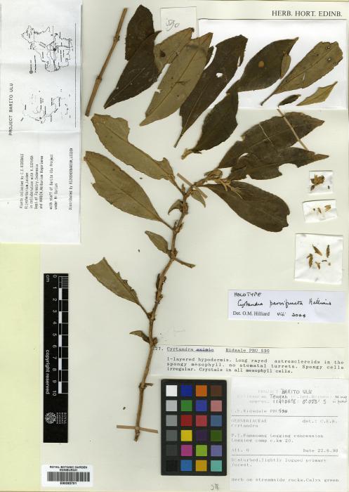 Cyrtandra parvifructa image