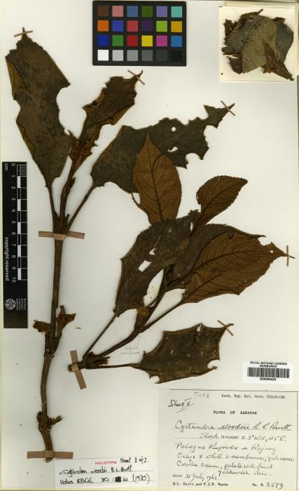 Cyrtandra woodsii image