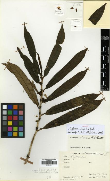 Cyrtandra iliasii image