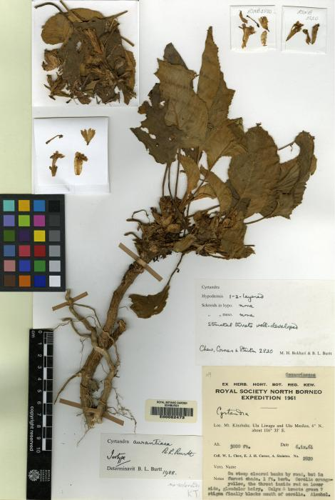 Cyrtandra aurantiaca image