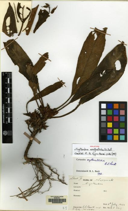 Cyrtandra erythrotricha image