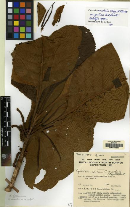 Cyrtandra areolata image