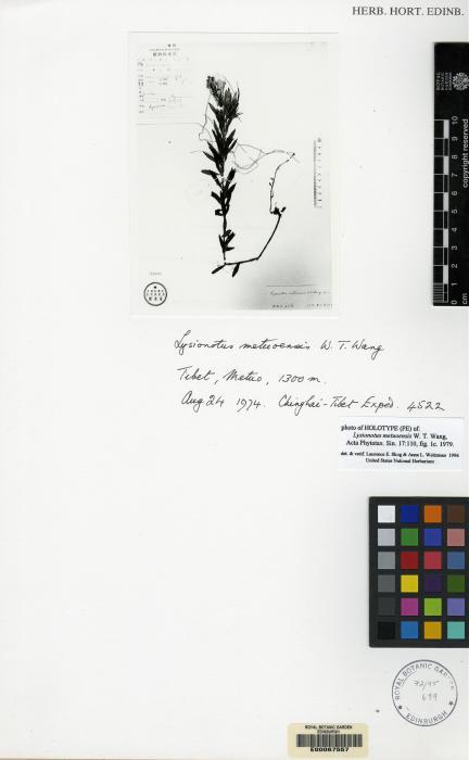 Lysionotus metuoensis image