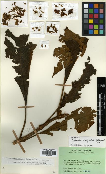 Cyrtandra villifructus image