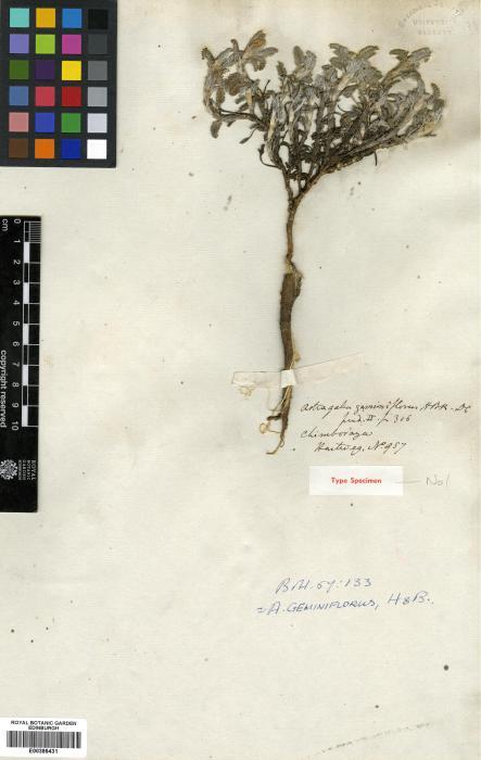 Astragalus image