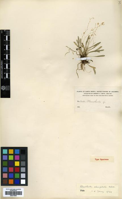 Pleurothallis zephyrina image