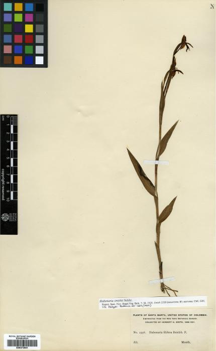 Habenaria trifida image