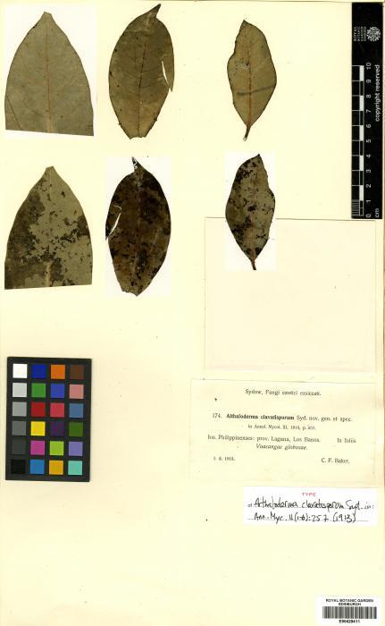 Aithaloderma clavatisporum image