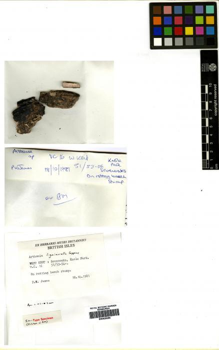Arthonia ligniariella image