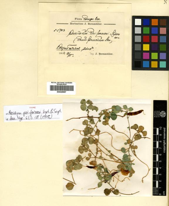 Aecidium argyreae-involucratae image