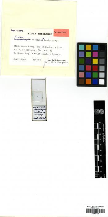 Arnium caballinum image