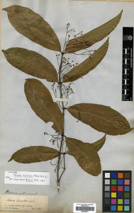 Celastraceae image