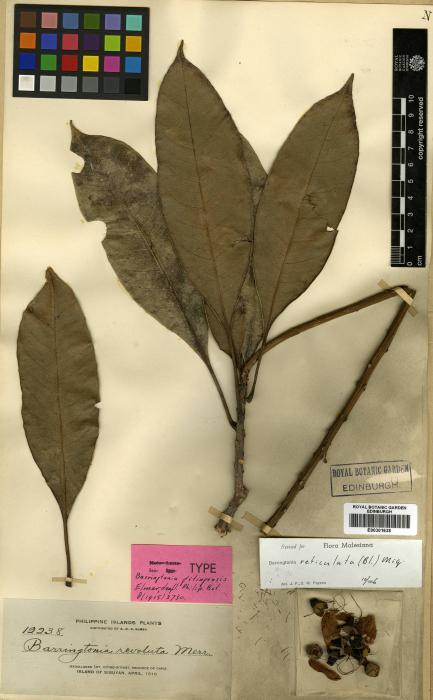 Barringtonia acutangula image