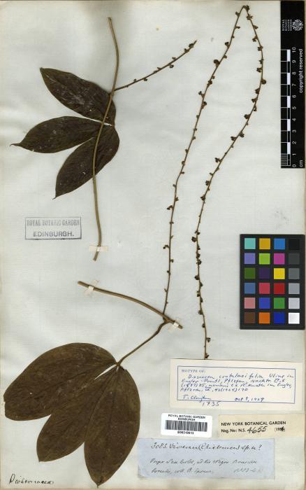 Dioscoreaceae image
